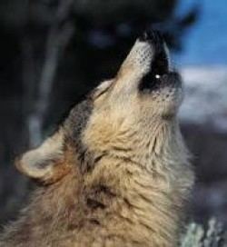 Ceilalţi lupi m-ar sfâşia, dacă ar şti că urletul meu e, în realitate, un plâns